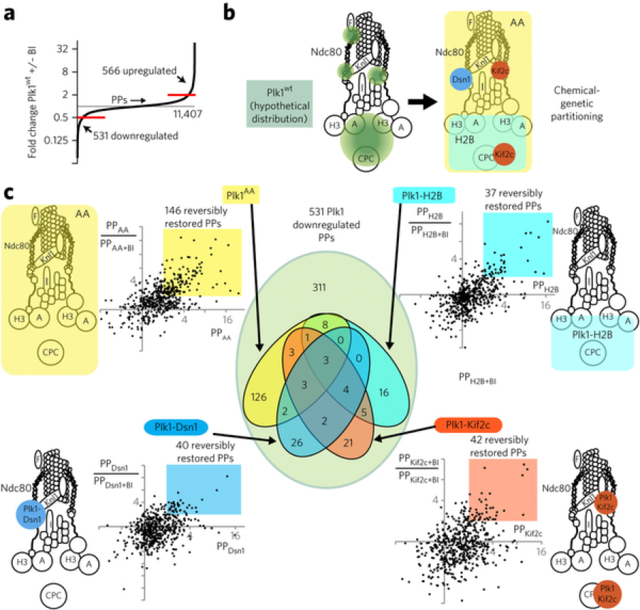 10-plex tandem mass tag phosphoproteomic analysis of Plk1 partitioned by locale along the kinetochore-centromere KT axis